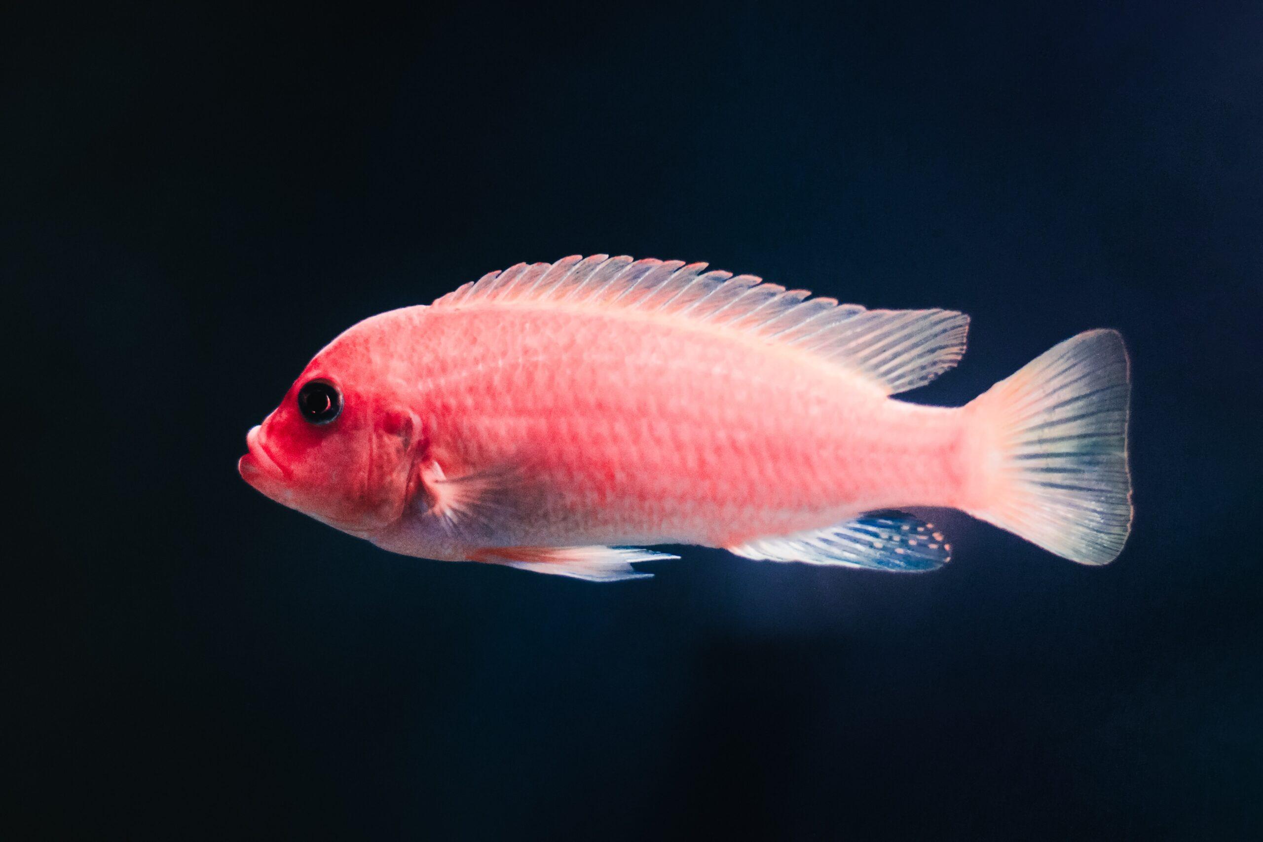 Is Katie Ledecky a fish?